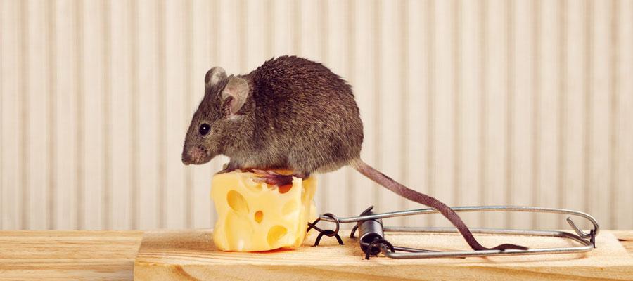 Pièges a souris